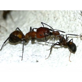 Camponotus nicobarensis for sale, ants for sale