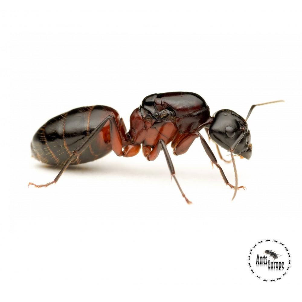 Camponotus ligniperda (mravenec dřevokaz) - Ants Europe - český obchod s mravenci