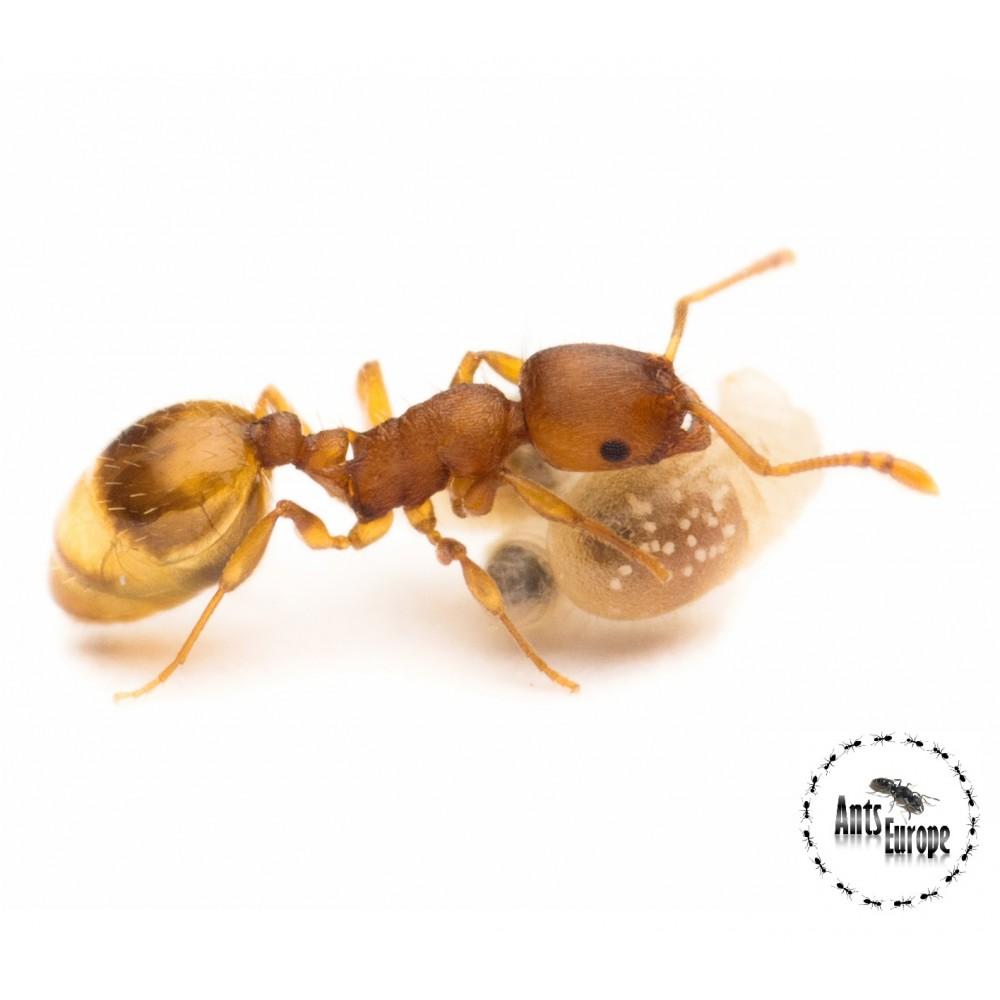 Temnothorax crassispinus - mravenec žaludový