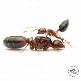 Crematogaster scutellaris prodej mravenců