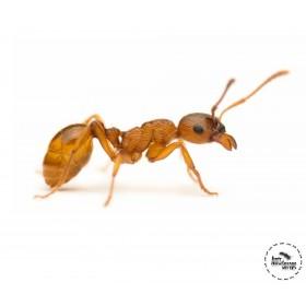 Myrmica rubra - mravenec žahavý