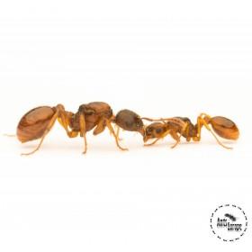 Myrmica cf. rubra - mravenec žahavý