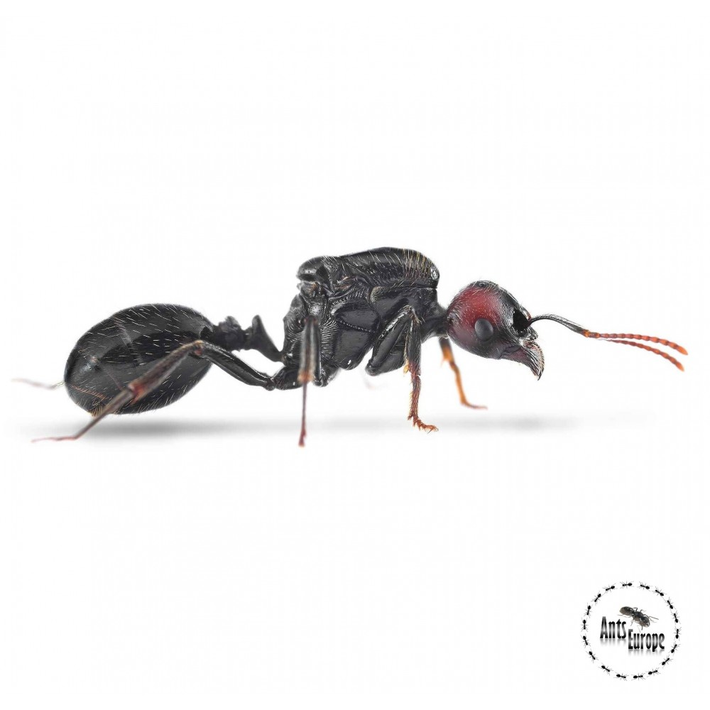 Messor barbarus - mravenec zrnojed, prodej mravenců