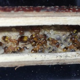 Temnothorax crassispinus, acorn ants, ants for sale, Ants Europe, formicarium, antkeeping.
