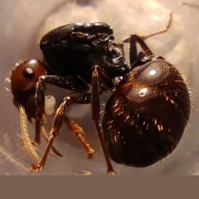 Messor barbarus, mravenec zrnojed, mravenci na prodej