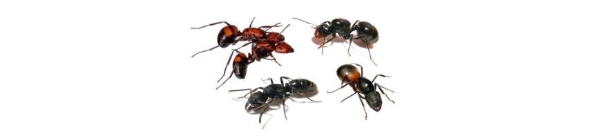 Ants Europe - mravenci na prodej